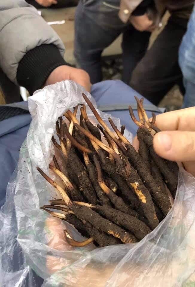 Đông trùng hạ thảo tươi Tây Tạng là gì?